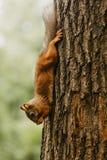 Scoiattolo su un albero che mangia una nocciola fotografie stock