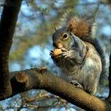 Scoiattolo su un albero con la noce in zampe fotografie stock