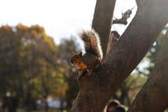 Scoiattolo su un albero Washintong D C fotografia stock