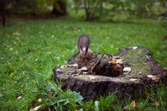 Scoiattolo su un ceppo di albero Fotografie Stock