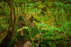 Scoiattolo su un ceppo nella foresta di autunno Fotografia Stock