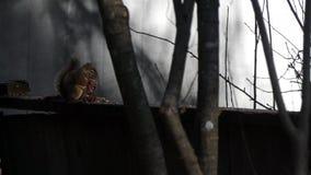 Scoiattolo su un recinto vicino ad un albero stock footage
