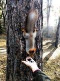 Scoiattolo su un tronco di albero fotografie stock