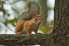 Scoiattolo su un tronco di albero nella foresta Fotografie Stock Libere da Diritti