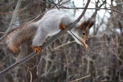 Scoiattolo su una foresta dell'albero in primavera fotografie stock libere da diritti