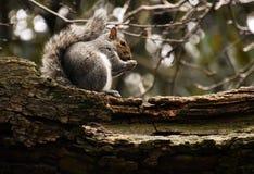Scoiattolo sul cibo del ramo di albero fotografie stock