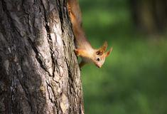 Scoiattolo sull'albero Immagini Stock