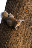 Scoiattolo sull'albero Fotografia Stock