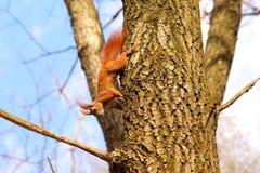 Scoiattolo sull'albero Immagine Stock