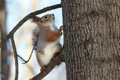 Scoiattolo sull'albero Immagine Stock Libera da Diritti