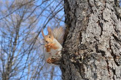 Scoiattolo sull'albero Fotografie Stock Libere da Diritti