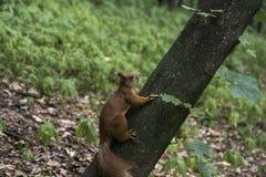 Scoiattolo sull'albero Fotografia Stock Libera da Diritti