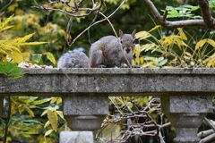 Scoiattolo sulla parete, parco di unico nato, Swansea, Regno Unito Immagine Stock