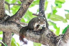 Scoiattolo sullo sguardo dell'albero alla macchina fotografica Fotografie Stock Libere da Diritti