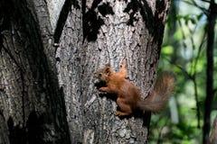 Scoiattolo sveglio in foresta Fotografia Stock Libera da Diritti