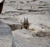 Scoiattolo a terra in California Fotografie Stock