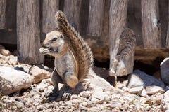 Scoiattolo a terra che si alimenta nel campo nel parco nazionale di Etosha, Namibia Immagine Stock
