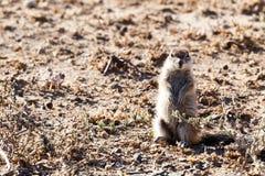 Scoiattolo a terra che vi guarda - parco della fauna selvatica Fotografia Stock