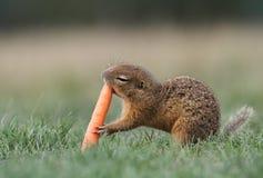 Scoiattolo a terra con la carota Fotografie Stock