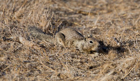Scoiattolo a terra di California (beecheyi di Otospermophilus) cammuffato Fotografie Stock Libere da Diritti