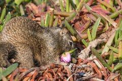 Scoiattolo a terra di California che mangia fiore Fotografia Stock Libera da Diritti