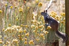 Scoiattolo a terra di California che si siede con i fiori gialli sotto il sole Immagini Stock