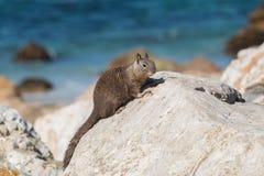 Scoiattolo a terra di California su una roccia Fotografia Stock