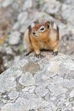 scoiattolo a terra Dorato-avvolto Fotografia Stock