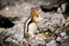 scoiattolo a terra Dorato-avvolto (lateralis di Callospermophilus) Immagine Stock Libera da Diritti