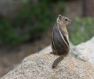 scoiattolo a terra Dorato-avvolto su una roccia fotografia stock