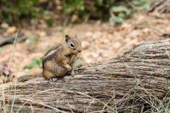 scoiattolo a terra Dorato-avvolto, ut Fotografie Stock Libere da Diritti