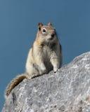 Scoiattolo a terra o scoiattolo a terra avvolto dorato Fotografie Stock