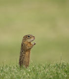 scoiattolo a terra Tredici-allineato Fotografie Stock Libere da Diritti