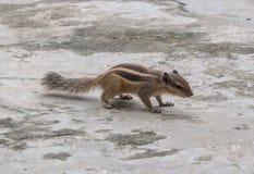 scoiattolo a terra Tredici-allineato Immagini Stock Libere da Diritti