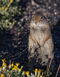 Scoiattolo a terra in Yellowstone Fotografie Stock Libere da Diritti