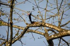 Scoiattolo uno scoiattolo/gigante giganti indiani di Malabar Immagini Stock Libere da Diritti