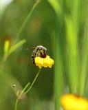 Scoliid Wasp på Coreopsis Royaltyfria Foton