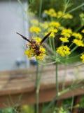 Scoliid-Wespe auf fennell Stockbilder