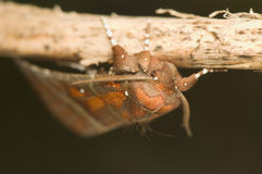Scoliopteryx libatrix Stock Image