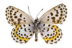 Scolitantides orion (Chequered Blue). Ventral view of Scolitantides orion (Chequered Blue) butterfly isolated on white background royalty free stock images