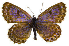 Scolitantides orion (Chequered Blue) Royalty Free Stock Photo