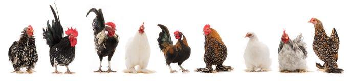 Scollage sechs Ñ- ock und Henne zwei lokalisiert lizenzfreie stockfotos