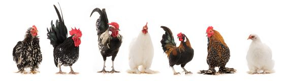 Scollage sechs Hahn und Henne lokalisiert stockfotografie