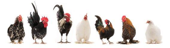Scollage sex isolerade hane och höna arkivbild
