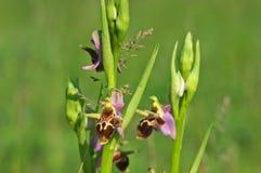 Scolopax d'Ophrys - sous-espèce de scolopax d'Ophrys cornuta Steven E G camus Photo stock
