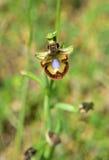 Scolopax del Ophrys Foto de archivo
