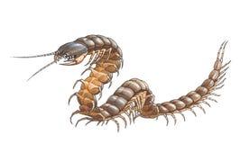 Scolopendra (似亚马逊巨型蜈蚣) 皇族释放例证