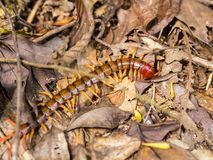 Scolopendra Royalty Free Stock Photos