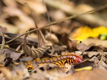 Scolopendra Stock Photo