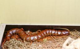 scolopendra gigantea Royalty Free Stock Photos